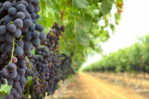 La uva, del campo a la mesa